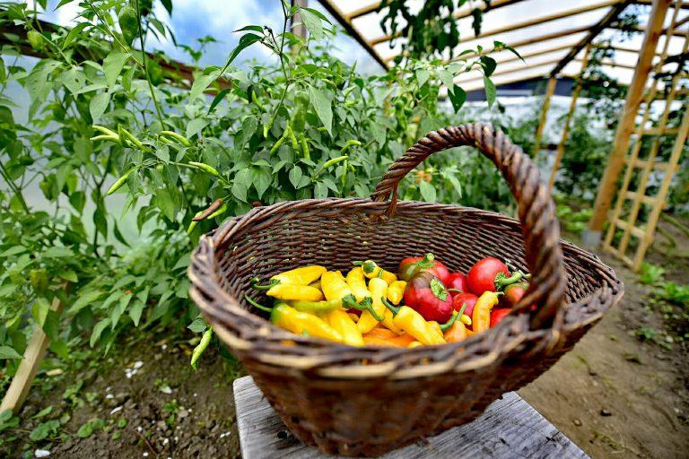 koszyk z papryczkami chili