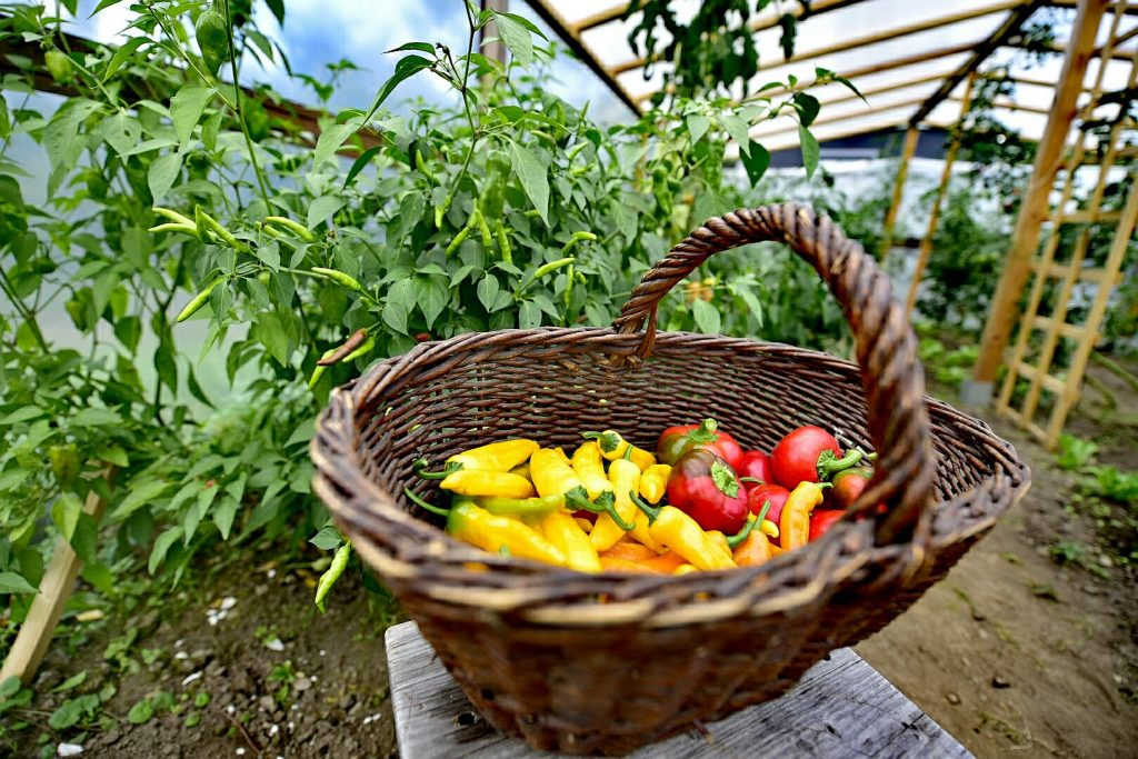 Zbiory chili trwają w najlepsze