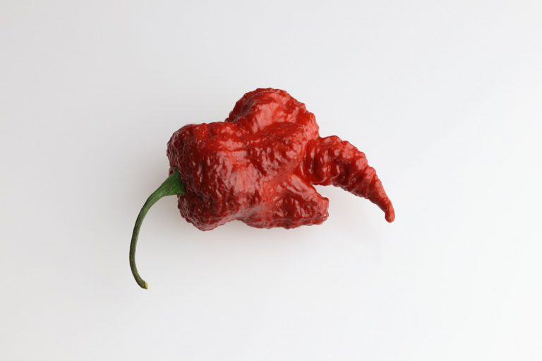 chocolate scorpion nasiona ostre