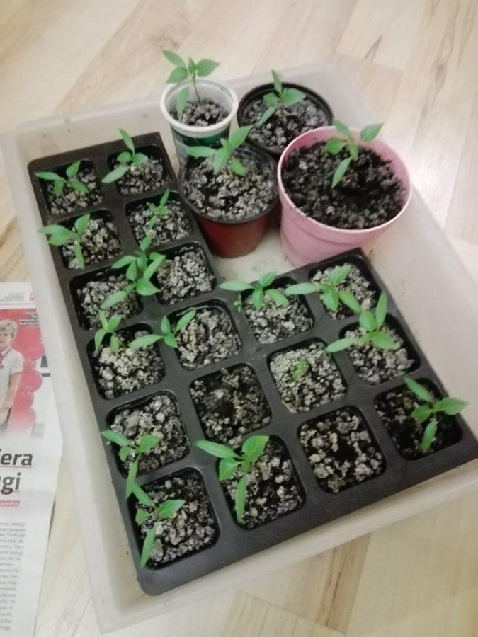 Kiedy wysiewać nasiona papryk?
