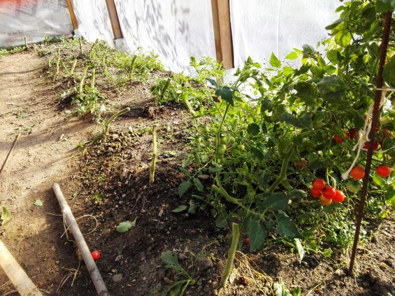 uprawa pomidora 2018 zakończona