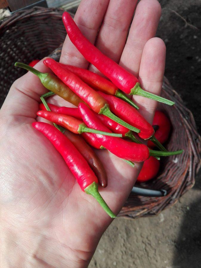PIRI PIRI pierwsze wnioski z pierwszego sezonu uprawy