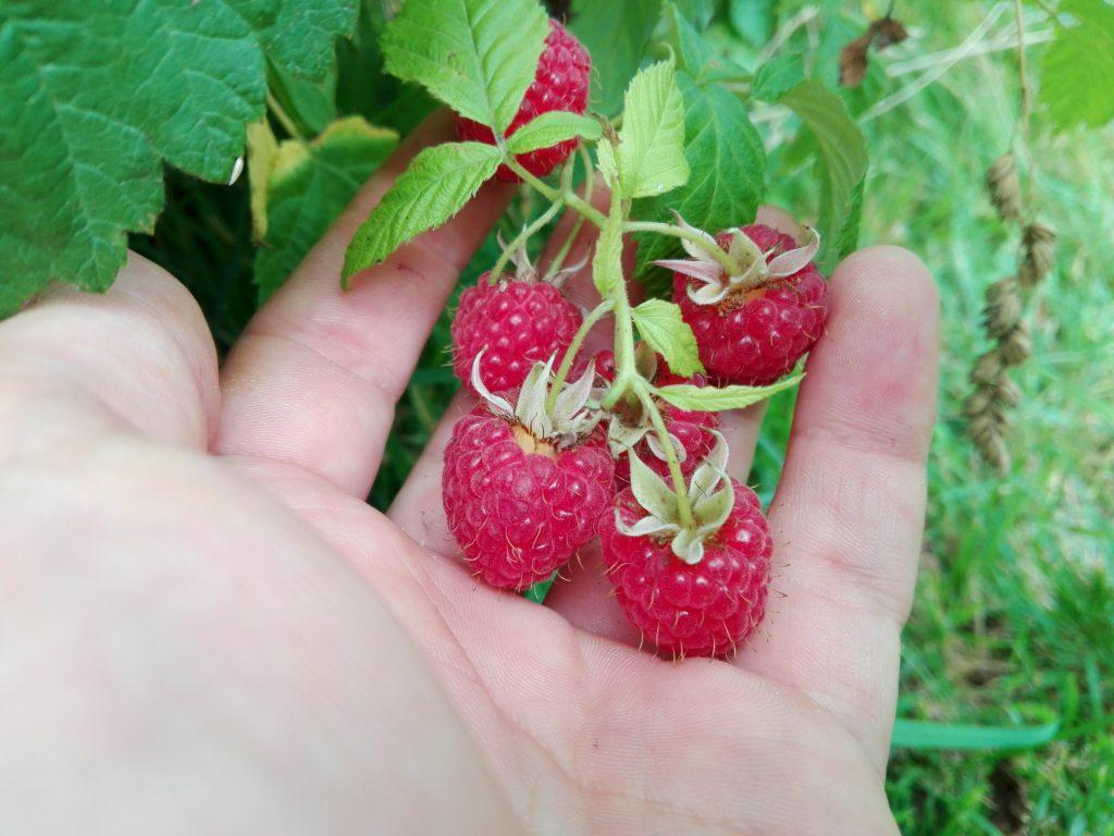 malina polska owoce