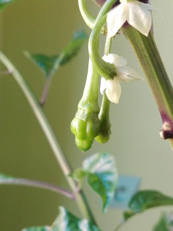 kwiaty i pierwsze zawiązki owoców