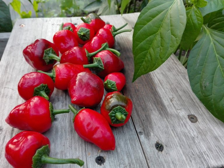 papryczki scotch bonnet