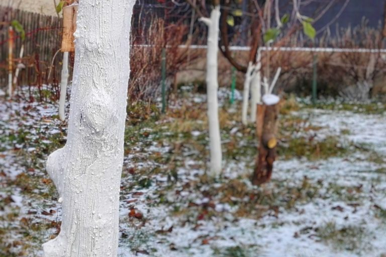 Bielenie drzewek w sadzie