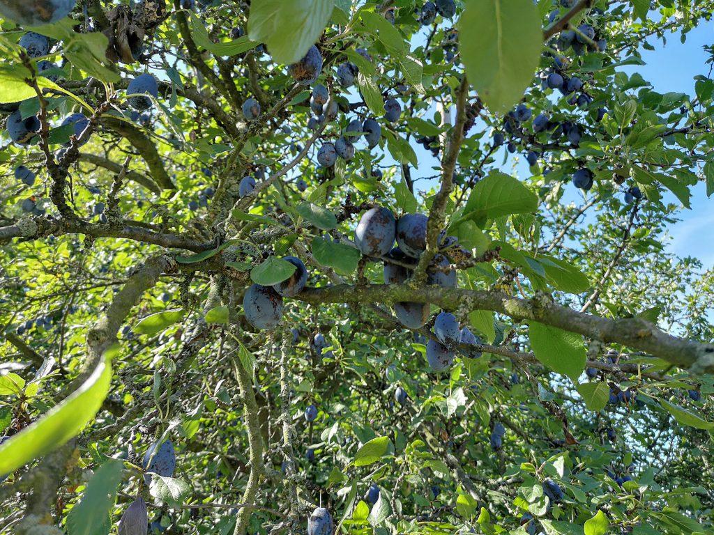 drzewo śliwka węgierka ekologiczna