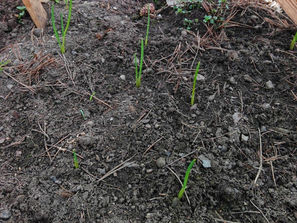 czosnek wczesną wiosną
