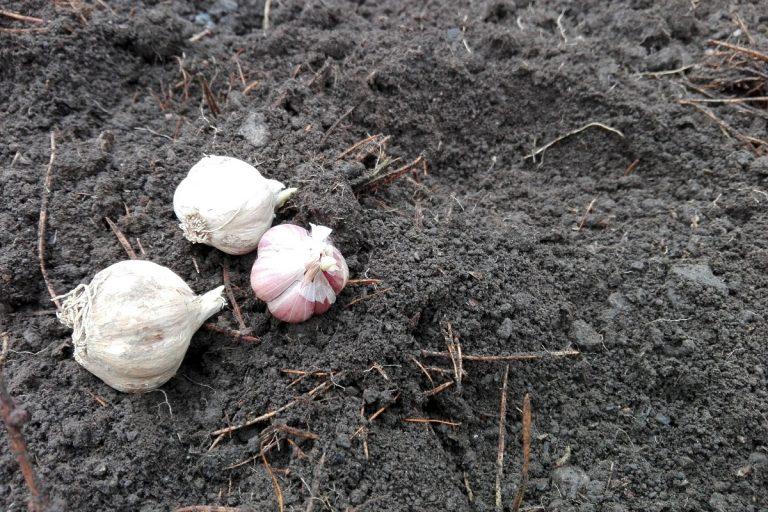 Sadzenie czosnku do sosów 2019