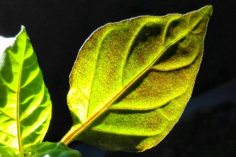 Kwietniowy przegląd sadzonek ostrych papryczek