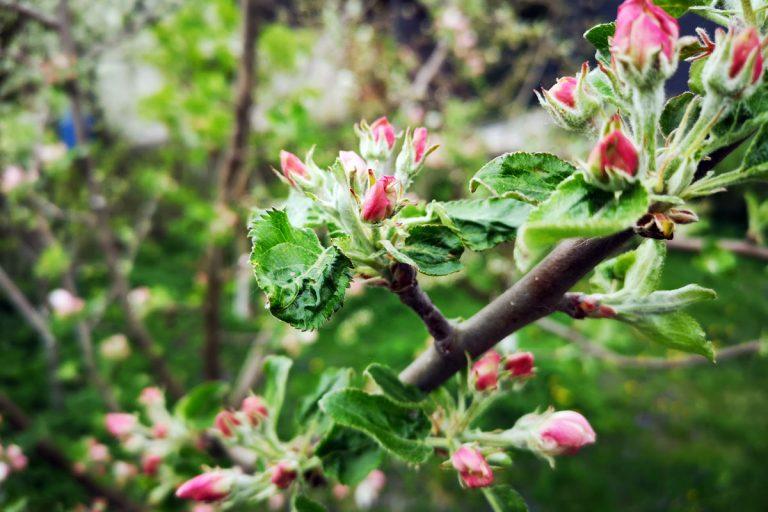 Jak przyspieszyć owocowanie jabłoni?