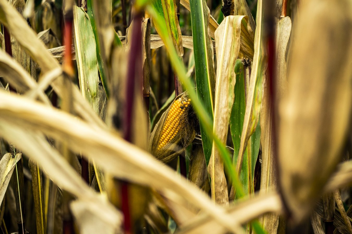 kukurydza ekologiczna uprawa