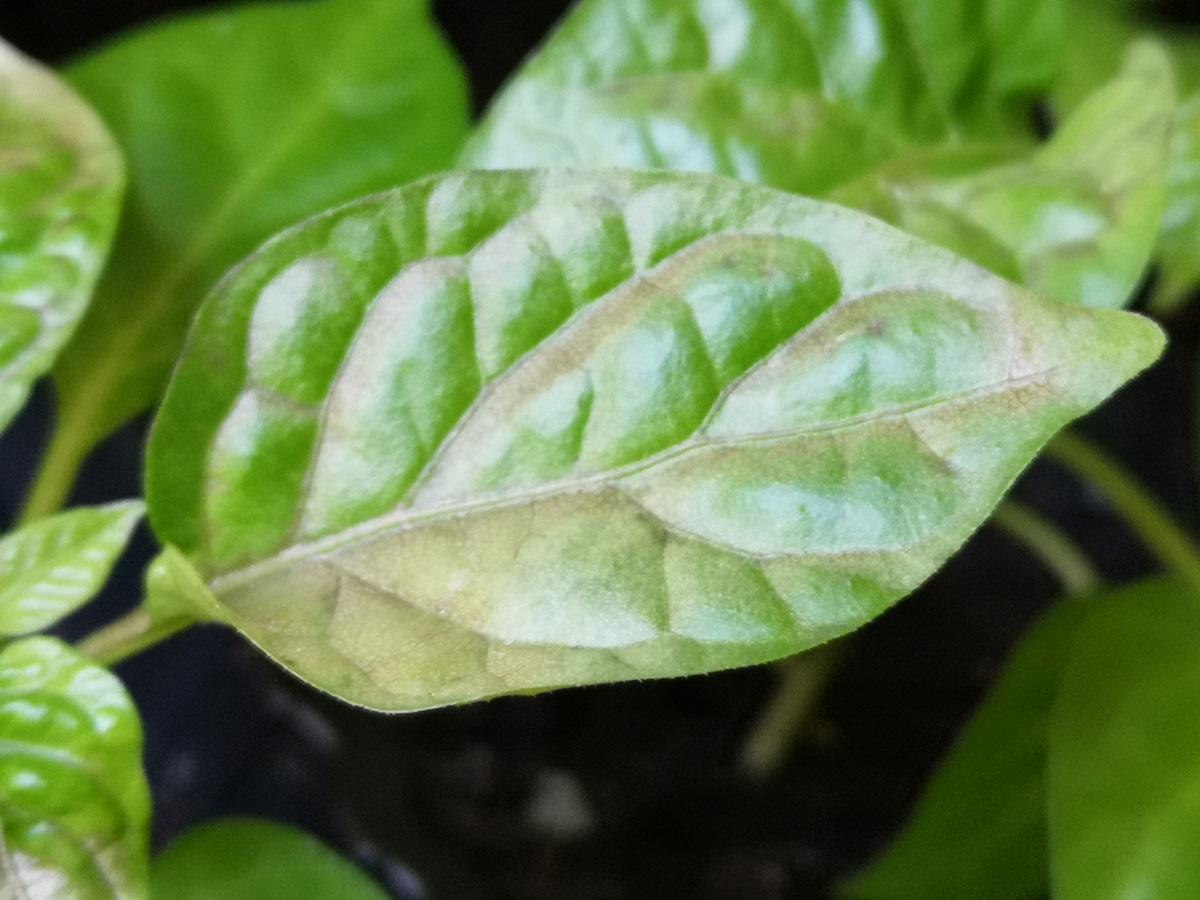 poparzenie słoneczne liści
