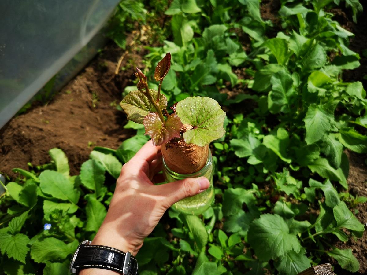słodki ziemniak uprawa poradnik