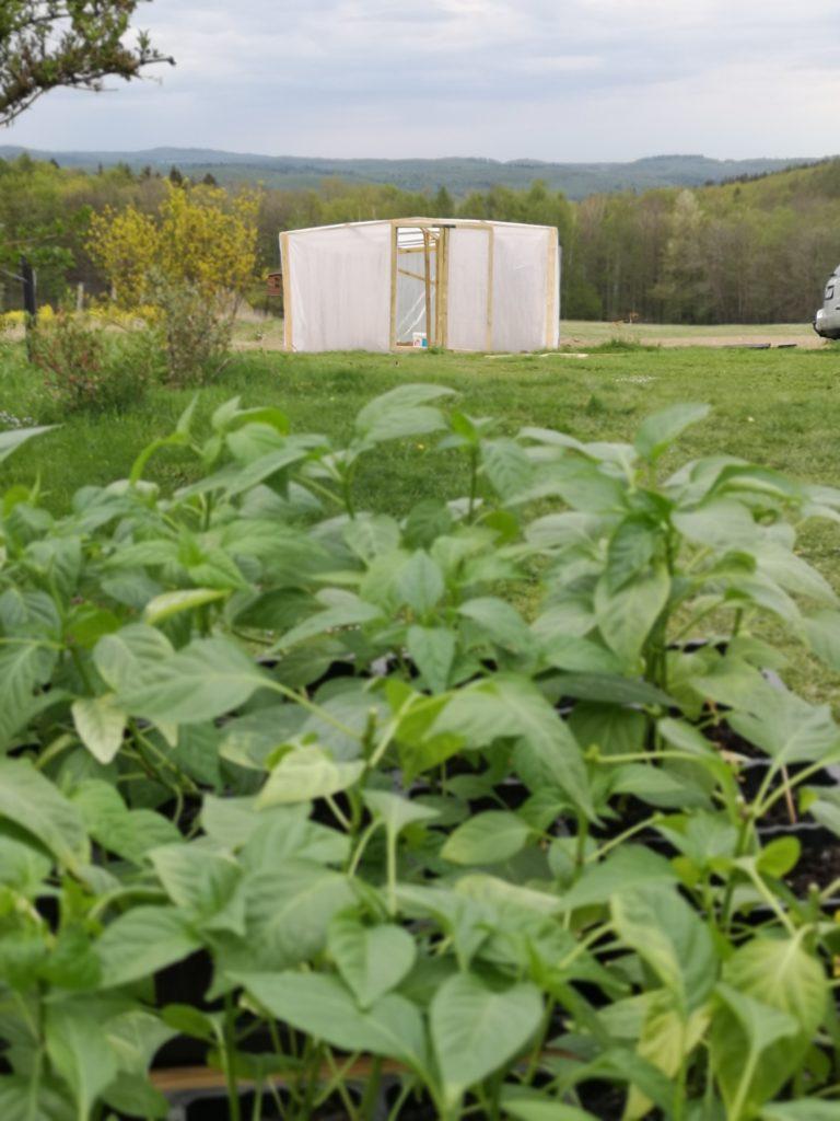 ostre papryki uprawa w polu