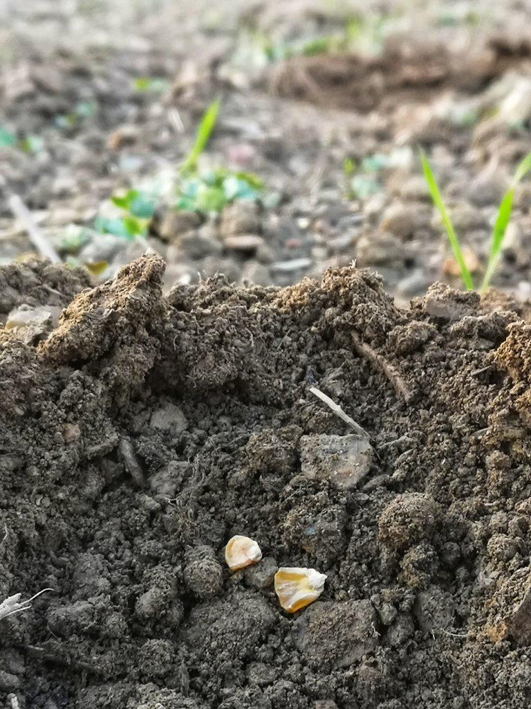 siew ekologicznej kukurydzy