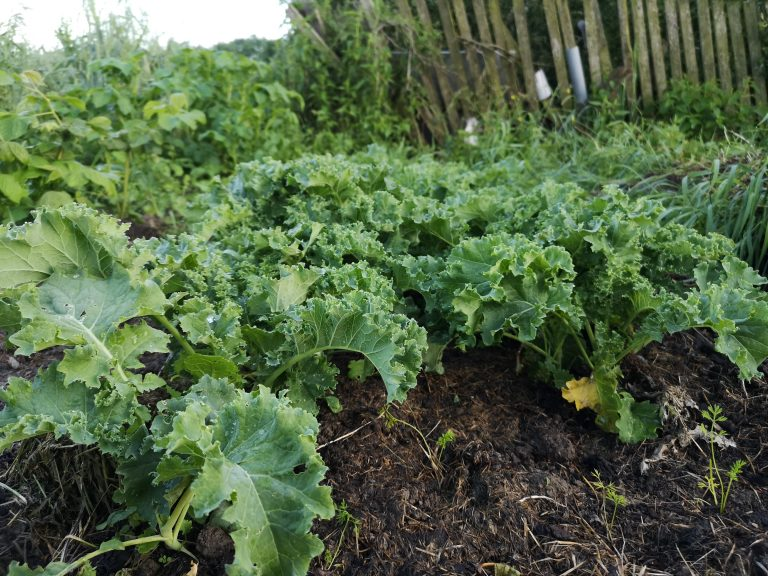 jarmuż ekologiczna uprawa