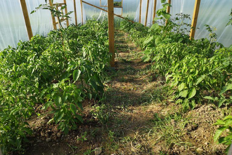 Pierwsze papryczki rosną coraz szybciej