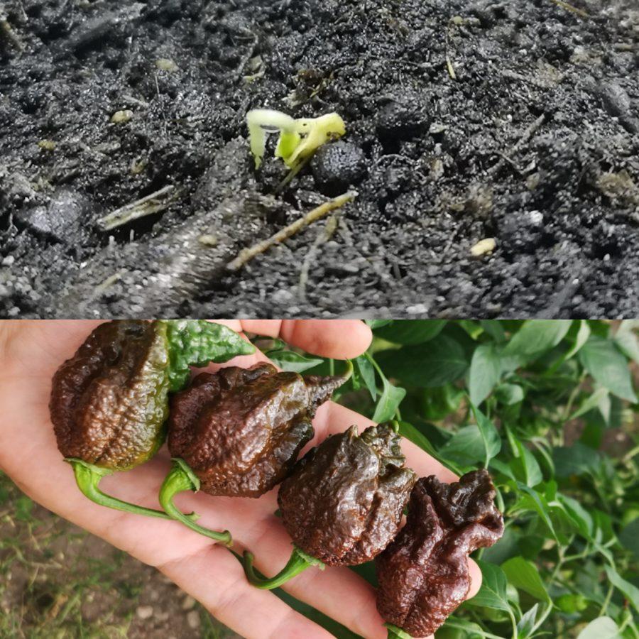 kiełkowanie nasion Trinidad Moruga Scorpion Chocolate