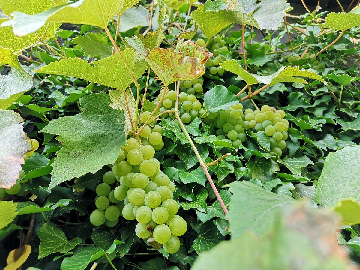 wino z białych winogron domowe